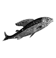 Arctic grayling vintage engraving vector