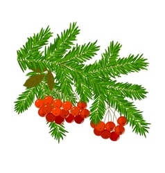 Branches of spruce and rowan vector image