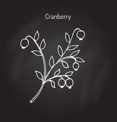 Wild forest ripe cranberries and leaves vector