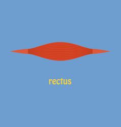 Flat rectus - didactic board of anatomy of vector