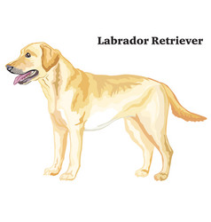 Colored decorative standing portrait of labrador vector