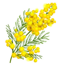 Yellow mimosa flower branch symbol of spring vector