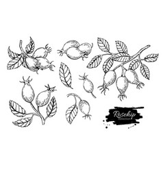 rosehip drawing isolated berry branch vector image