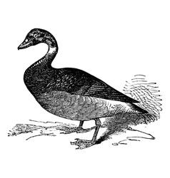 Brent Goose vintage engraving vector image vector image