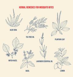 best herbal remedies for mosquito bites vector image