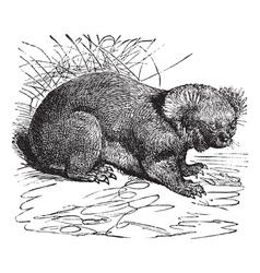 Koala vintage engraving vector image vector image