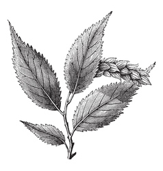 Hophornbeam vintage engraving vector