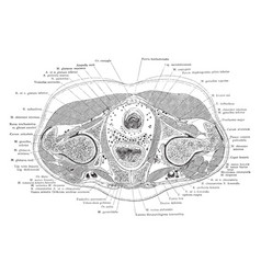 cross section trunk through pubic vector image