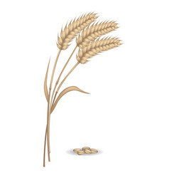 harvest of rye ears near pile of grains vector image
