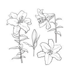set of hand drawn white lily flowers side top vector image vector image