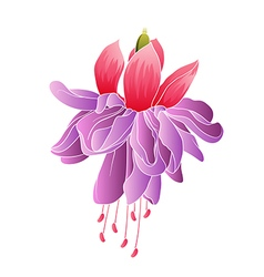 Fuchsia flower isolated vector image