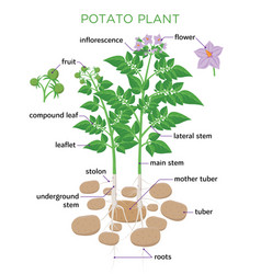 Potato plant in flat design vector