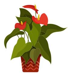 Anthurium indoor tropical plant in flower pot vector