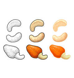 cashew nut with fetus engraving black vector image