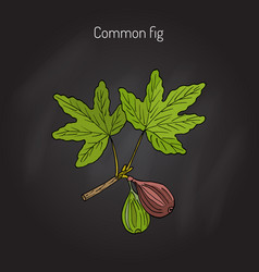 common fig branch vector image vector image