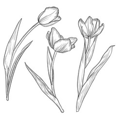 drawing flowers tulips vector image