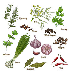 Color culinary herbs and spices vector