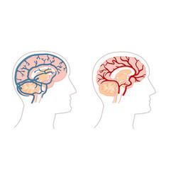 Human anatomy drawings - brain veins and arteries vector
