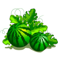 watermelon on the plantation vector image
