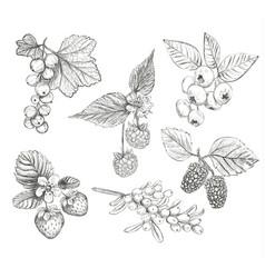 sketch berries set vector image vector image