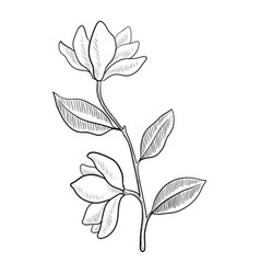 Drawing branch magnoila tree vector
