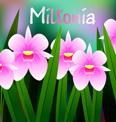 Beautiful Flower of Orchid Miltonia with Green vector