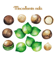 Watercolor macadamia nuts vector