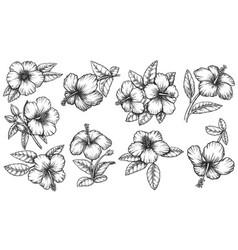 hawaiian hibiscus flourish ink outline vector image