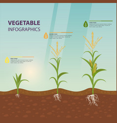 Maize or corn growth stages in form of infographic vector