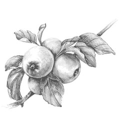 apple branch pencil drawing vector image