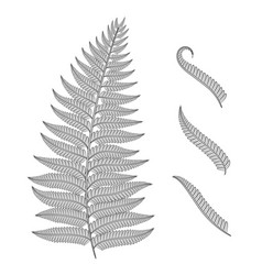 black and white image of a fern leaf vector image