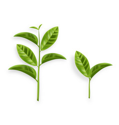 Green tea leaves realistic isolated on vector