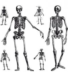 skeleton drawings vector image