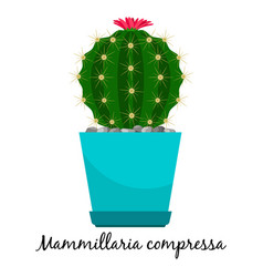 Mammillaria compressa cactus in pot vector