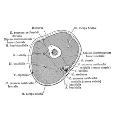 Cross section through lower third of the upper vector