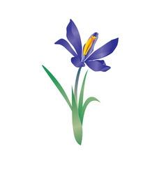 vector violet flowe spring crocus vector image vector image
