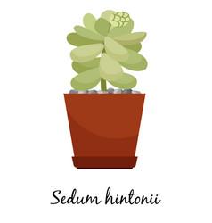 sedum hintonii cactus in pot vector image