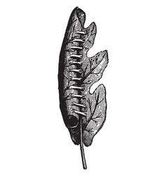Oak leaf rolled sideways vintage vector