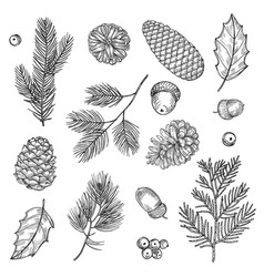 Hand drawn spruce branches and cones vector