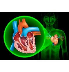Heartbeat diagram in human vector image vector image