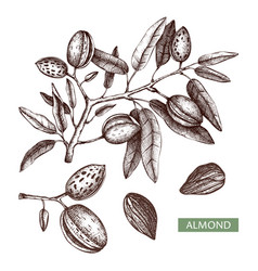 Almond hand drawn food drawing nut trees vector