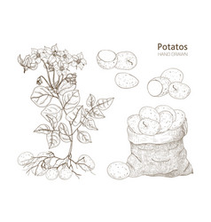 elegant monochrome botanical drawings of potato vector image