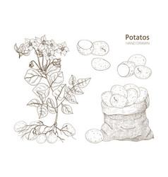 Elegant monochrome botanical drawings potato vector