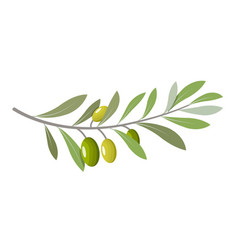 olive branch tree isolated leaf food green vector image