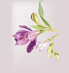 lilly flowers blossom spring delicate flower vector image vector image