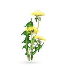 Isolated yellow dandelions vector image