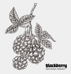 Sketchy blackberry branch hand drawn berries vector