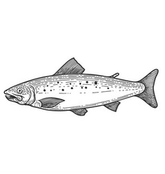 trout fish in engraving style design element vector image