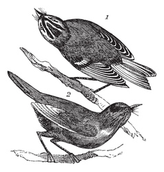 Kinglet Vintage Engraving vector image