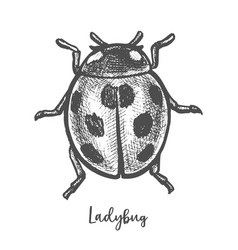 sketch ladybug insect hand drawn ladybird vector image